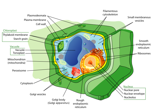 Labeled illustration of plant cell.