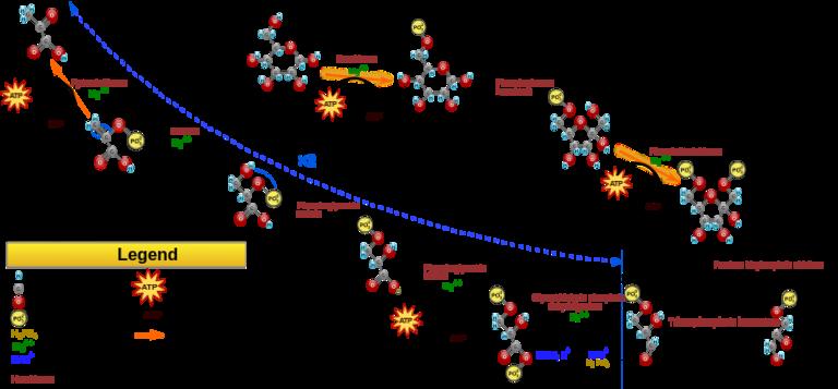 Metabolism The Steps Of Aerobic Cellular Respiration