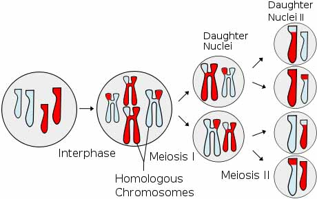 Cell Division: What Is Meiosis? - page 2