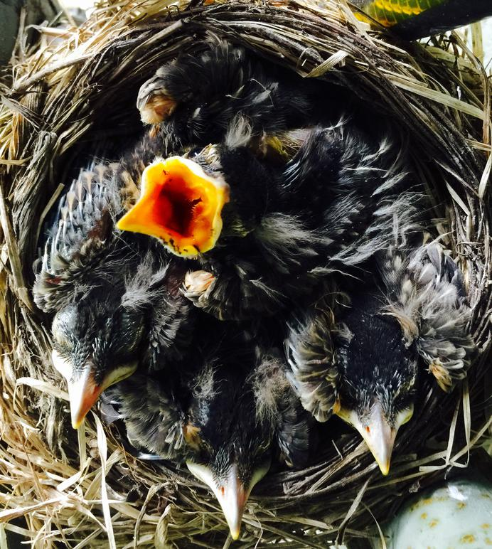 American Robin Nestling Chicks 10 Days Old