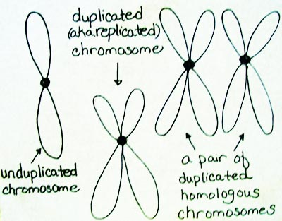 Difference Between Duplicated & Homologous Chromosomes