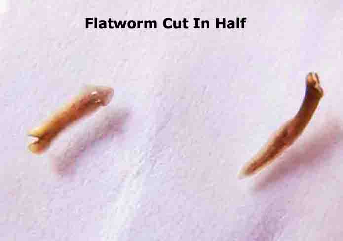Flatworm Dugesia Cut In Half for Regeneration Experiment