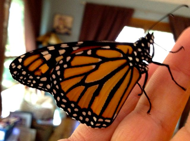 Monarch Butterfly newly emerged from cocoon.