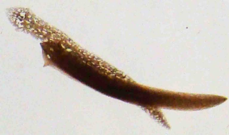 Dugesia a Type of Planarian Flatworm