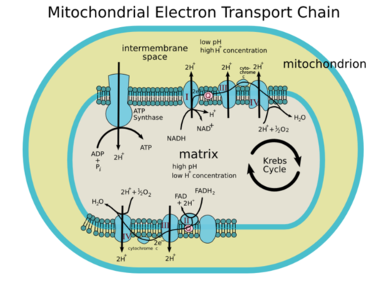 Electron transport chain of cellular respiration page 3 electron transport chain of cellular respiration ccuart Image collections