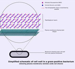 Schematic of Gram Positive Bacterial Cell Wall Structure