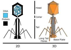 Diagram of Bacteriophage Interior & Exterior