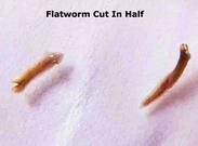Planaria Cut In Half for Regeneration Experiment