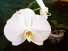 White Flower of Phalaenopsis Orchid